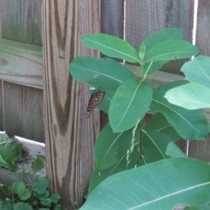 A monarch stops in Helen's back yard to lay an egg on a milkweed plant.