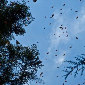 Thousands of monarchs fill the sky in El Rosario, Mexico.