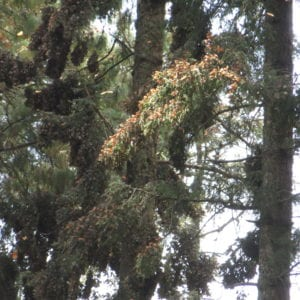 Monarchs cluster in trees in Mexico in order to stay warm.